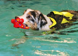 Introduksjon i vanntrening for friske hunder
